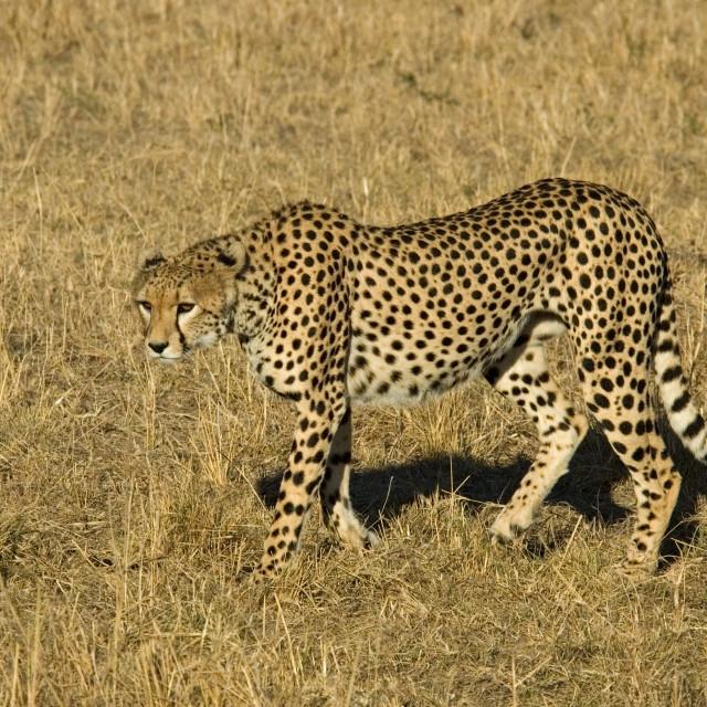 """Cheetah, Jachtluipaard, Acinonyx jubatus"" stock image"