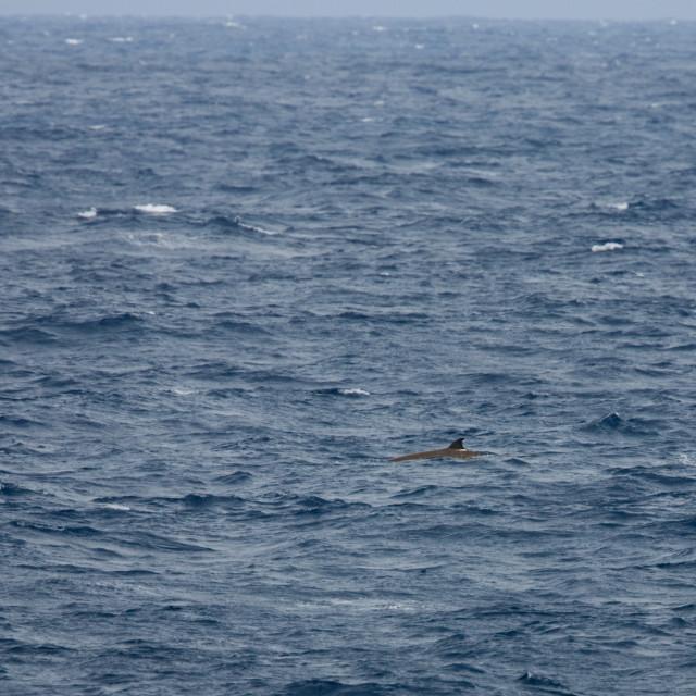 """Dolfijn van Cuvier, Cuviers beaked whale, Ziphius cavirostris"" stock image"