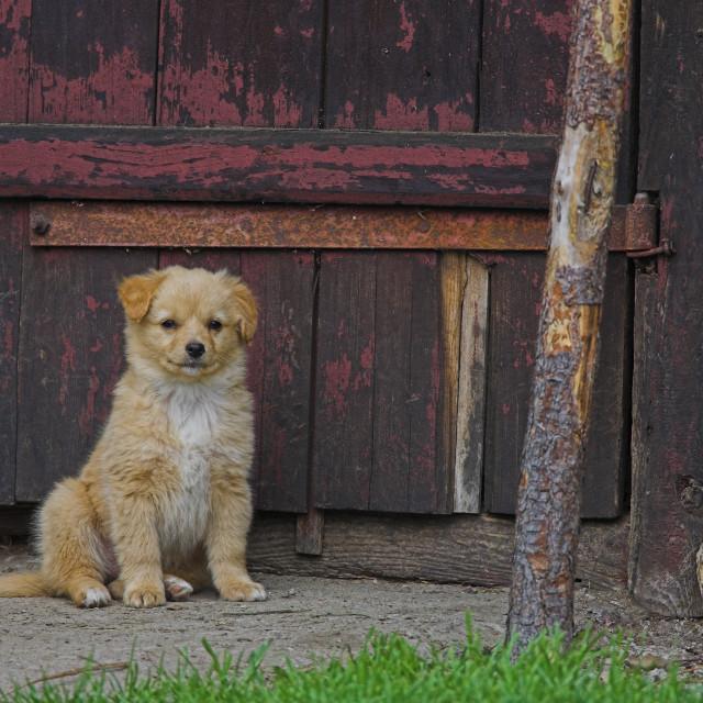 """Hond puppy, Dog puppy"" stock image"