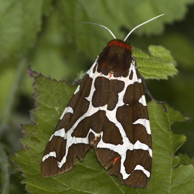 """Grote Beervlinder, Garden tiger moth, Arctia caja"" stock image"