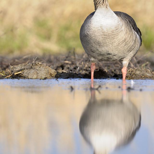 """""""Grauwe gans Edam 2012"""" stock image"""