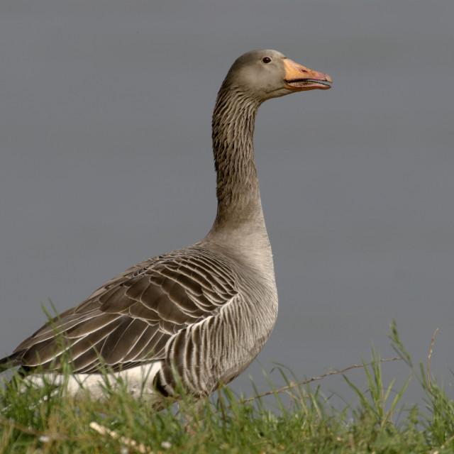 """""""Grauwe Gans;Greylag Goose;Anser anser."""" stock image"""