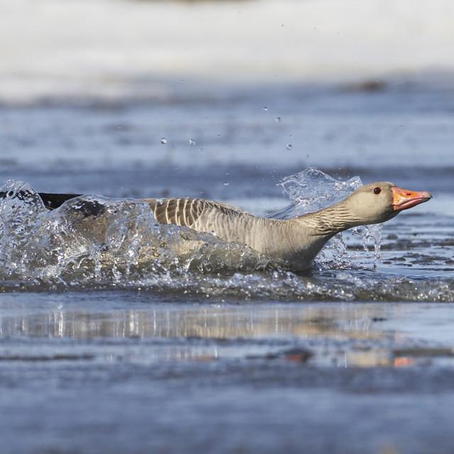 """""""Grauwe Gans, Grey-lag Goose, Anser anser"""" stock image"""