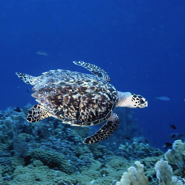 """""""Karetschildpad, Hawksbill Turtle, Eretmochelys imbricata"""" stock image"""