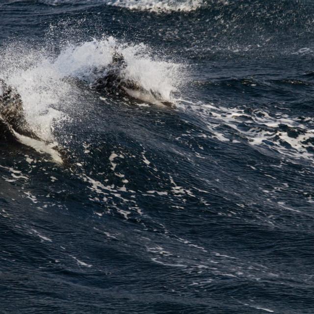 """Zandloperdolfijn, Hourglass dolphin, Lagenorhynchus cruciger"" stock image"