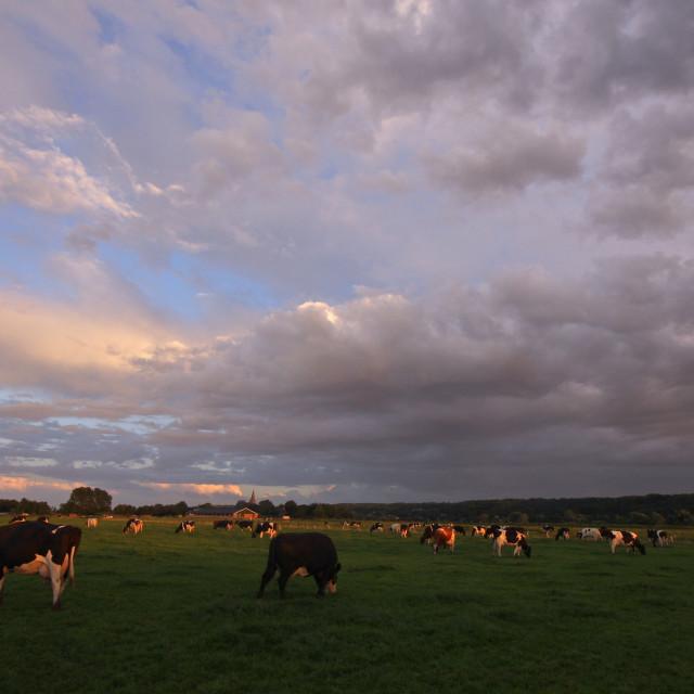 """Koe, Cow"" stock image"