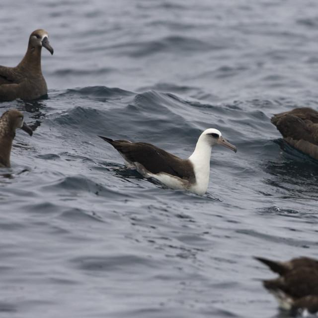 """Laysanalbatros, Laysan Albatross, Phoebastria immutabilis"" stock image"