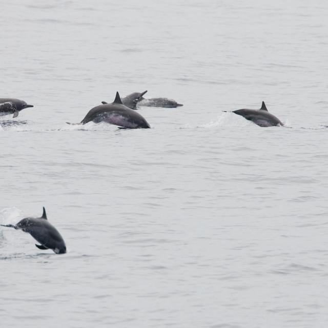"""""""Langsnuitdolfijn, Spinner Dolphin, Stenella longirostris"""" stock image"""