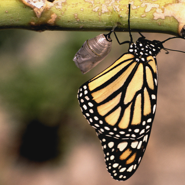 """Monarch butterfly near pupa"" stock image"