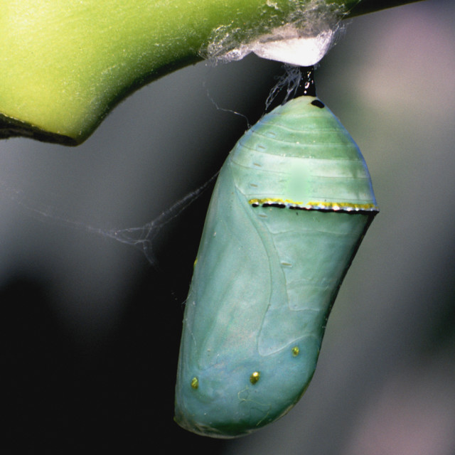 """Pupa Monarch butterfly"" stock image"