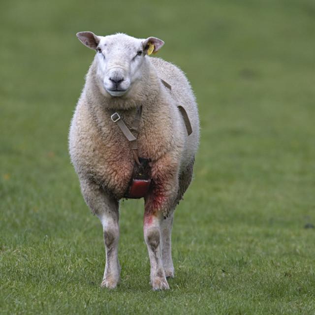 """""""Schaap, Sheep"""" stock image"""