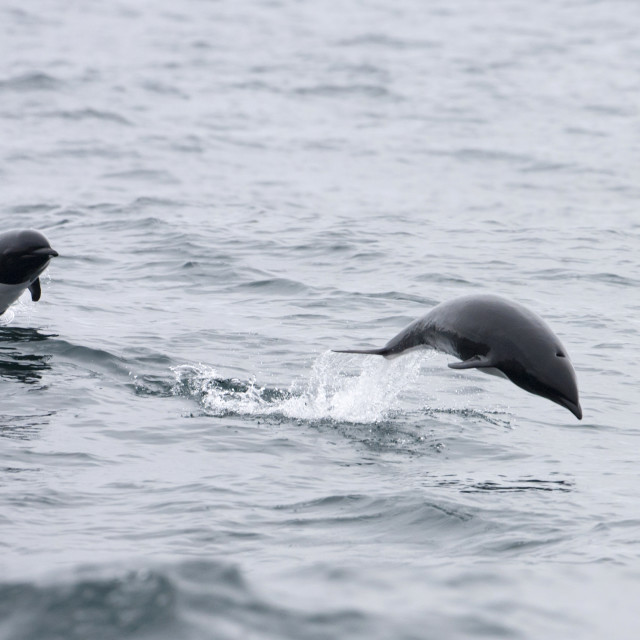 """Noordelijke gladde dolfijn, Northern right whale dolphin, Lissodelphis borealis"" stock image"