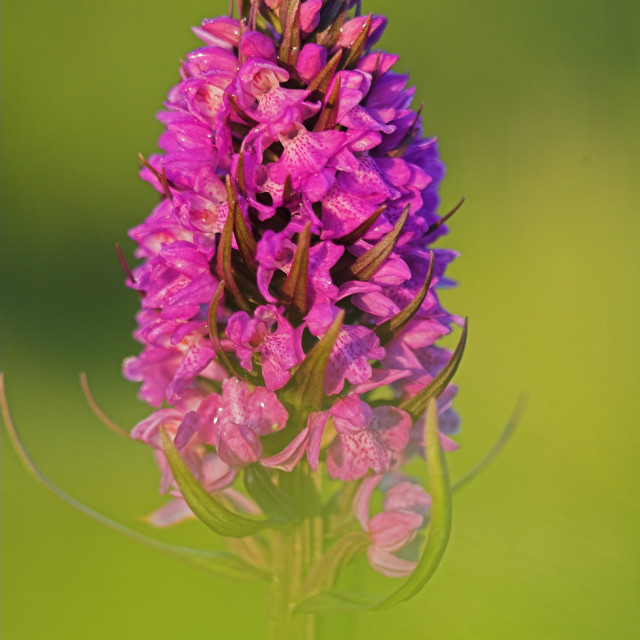 """orchis, orchid, dactylorhiza"" stock image"