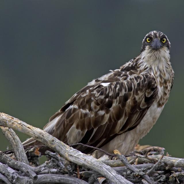 """Osprey,Visarend, Pandion haliaetus"" stock image"