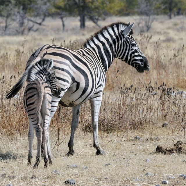 """""""Steppezebra, Plains zebra, Equus quagga"""" stock image"""
