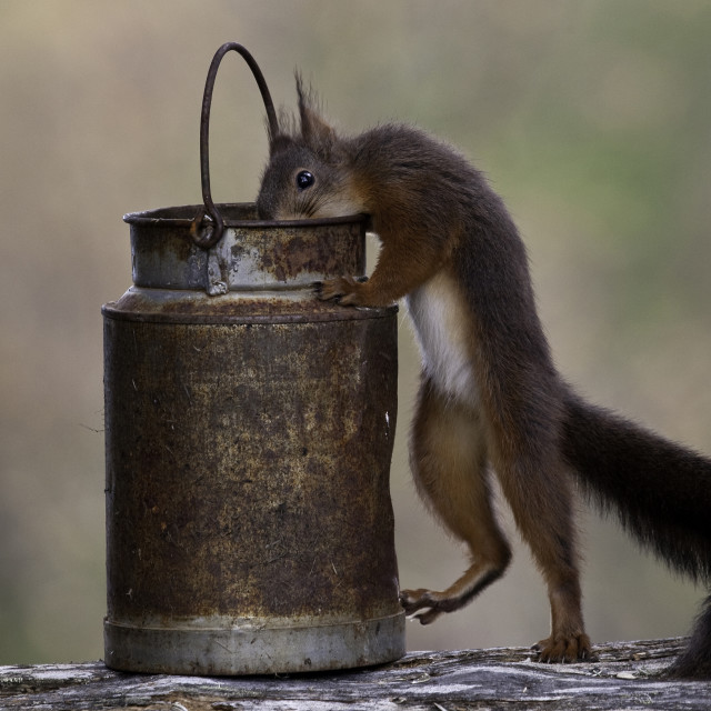 """Eekhoorn, Red Squirrel, Sciurus vulgaris"" stock image"
