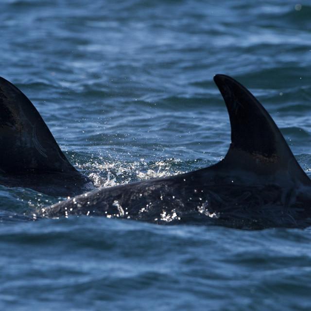"""""""Gramper, Rissos dolphin, Grampus griseus"""" stock image"""