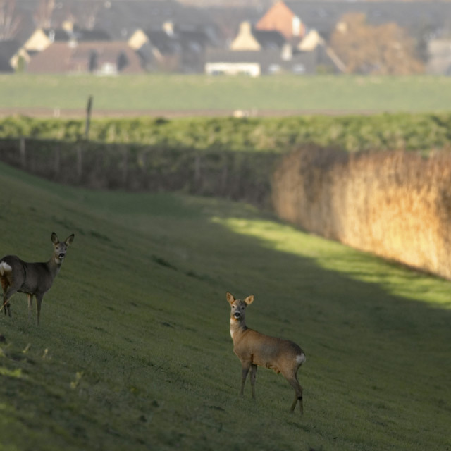 """""""Ree, Roe Deer, Capreolus capreolus"""" stock image"""