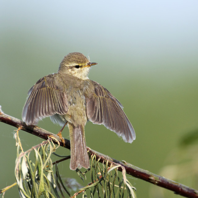 """""""Fitis, Willow Warbler, Phylloscopus trochilus"""" stock image"""