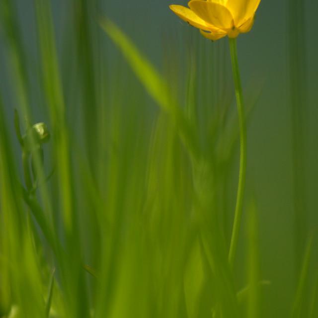 """boterbloem, buttercups, Ranunculus"" stock image"