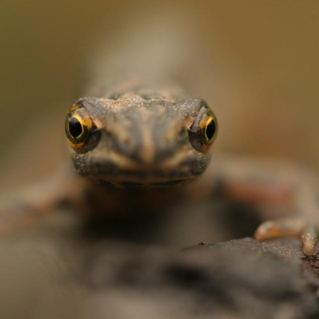 """Kleine Watersalamander, Common Newt, Lissotriton vulgaris"" stock image"