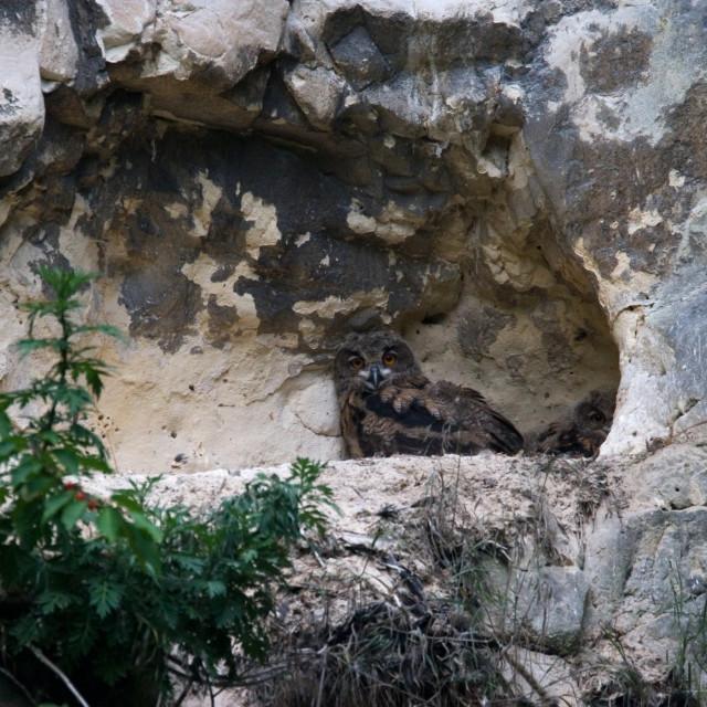 """Eagle Owl, Oehoe, Bubo bubo"" stock image"