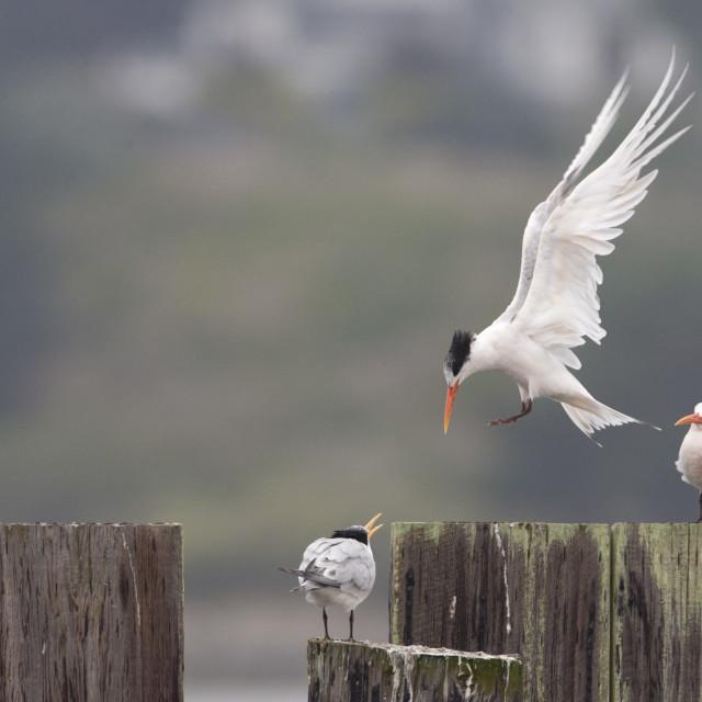 """Sierlijke Stern, Elegant Tern, Thalasseus elegans"" stock image"