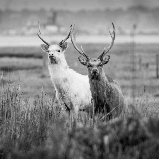 """Rare White and Brown Stag in Black and White"" stock image"