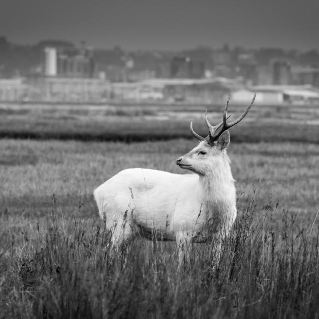 """Rare White Stag in Black and White"" stock image"