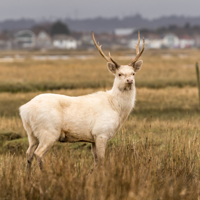 """White Stag"" stock image"