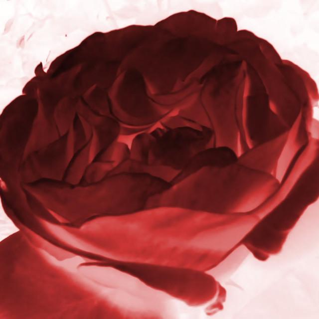 """""""Digital Rose"""" stock image"""