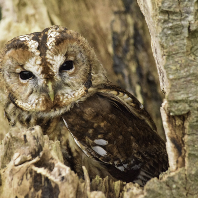 """Tawny Owl in the New Forest"" stock image"