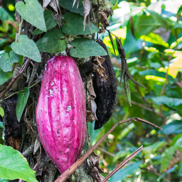 """Cacao tree on Bali"" stock image"