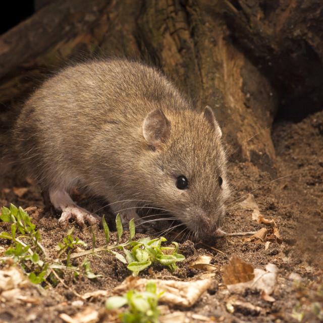 """""""Bruine Rat, Brown Rat, Rattus norvegicus"""" stock image"""