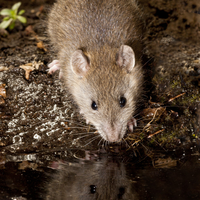"""Bruine Rat, Brown Rat, Rattus norvegicus"" stock image"