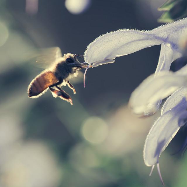 """""""Honey Bee in Morning Light"""" stock image"""