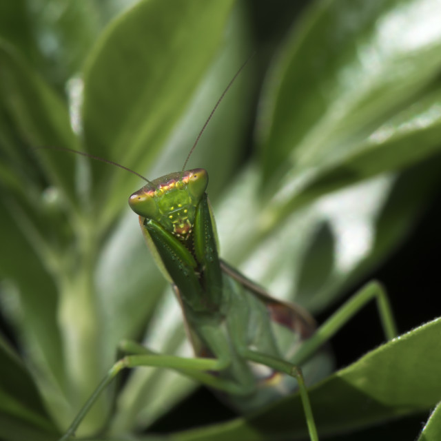 """New Zealand Native Mantis"" stock image"
