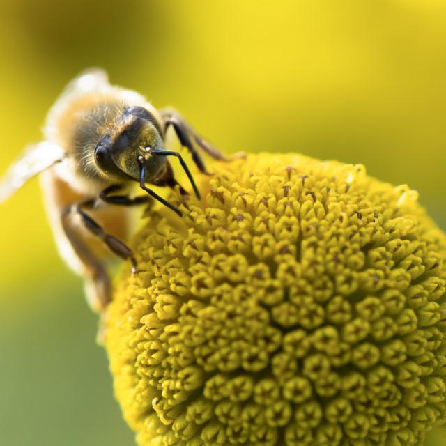 """Honey Bee on amazing Flower Head"" stock image"
