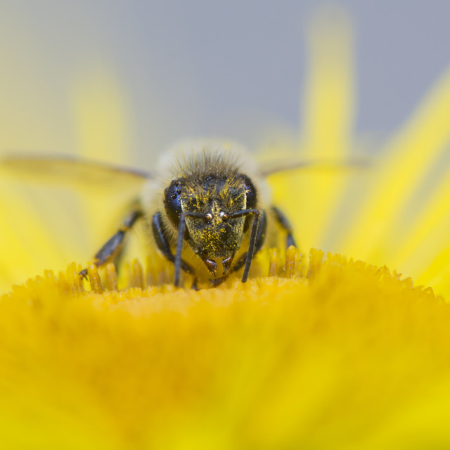 """Honey Bee Head on"" stock image"
