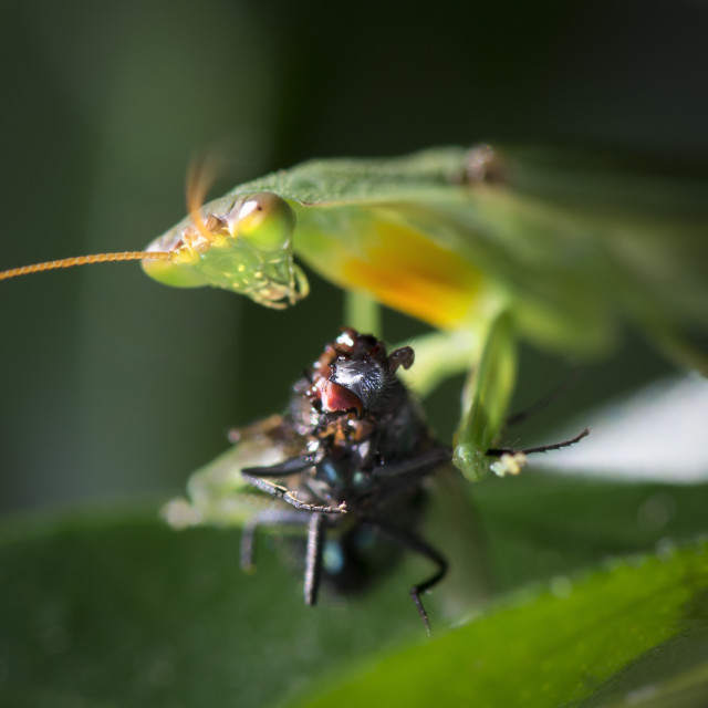 """Mantis Eating Fly"" stock image"