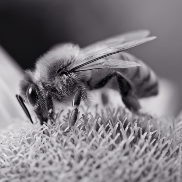 """Black and White Honey Bee"" stock image"