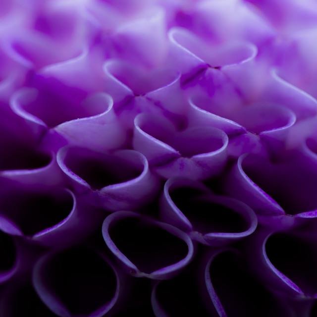 """Amazing Dahlia Petals up Close"" stock image"