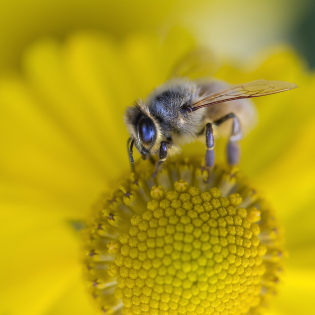 """Honey Bee Busy"" stock image"