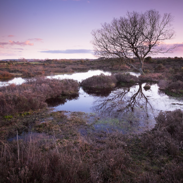 """Solitary Tree - New Forest"" stock image"