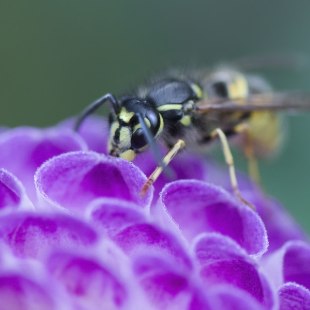 """Wasp on Dahlia"" stock image"