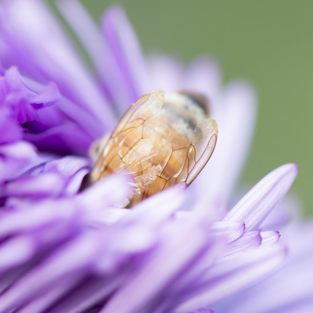 """Honey Bee Deep in Flower"" stock image"