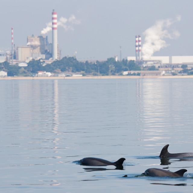 """""""Tuimelaar, Bottlenose Dolphin, Tursiops truncatus"""" stock image"""