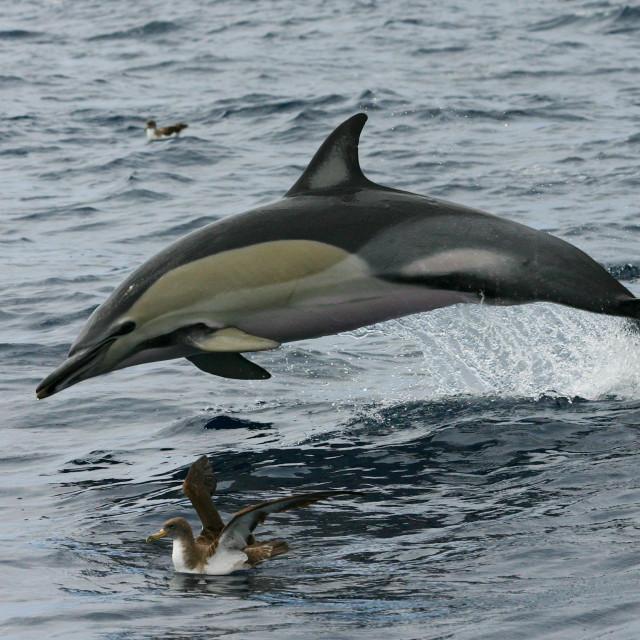 """""""Gewone Dolfijn, Common Dolphin, Delphinus delphis"""" stock image"""