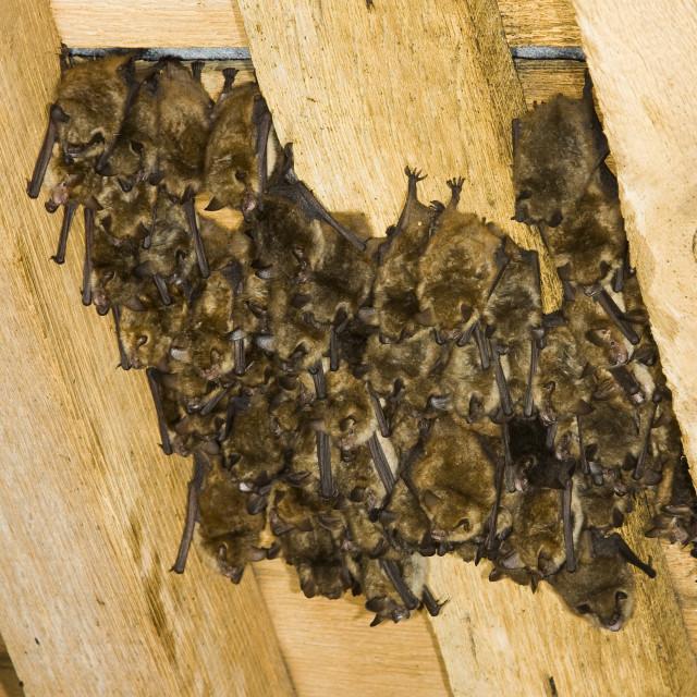 """""""Ingekorven Vleermuis, Geoffroy\'s Bat, Myotis emarginatus"""" stock image"""