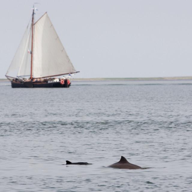 """""""Bruinvis, Harbour Porpoise, Phocoena phocoena"""" stock image"""